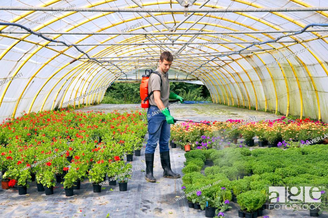 Imagen: Water and fertilizer with sprayer in greenhouse. Flores Centro de Jardineria, Garden Center.