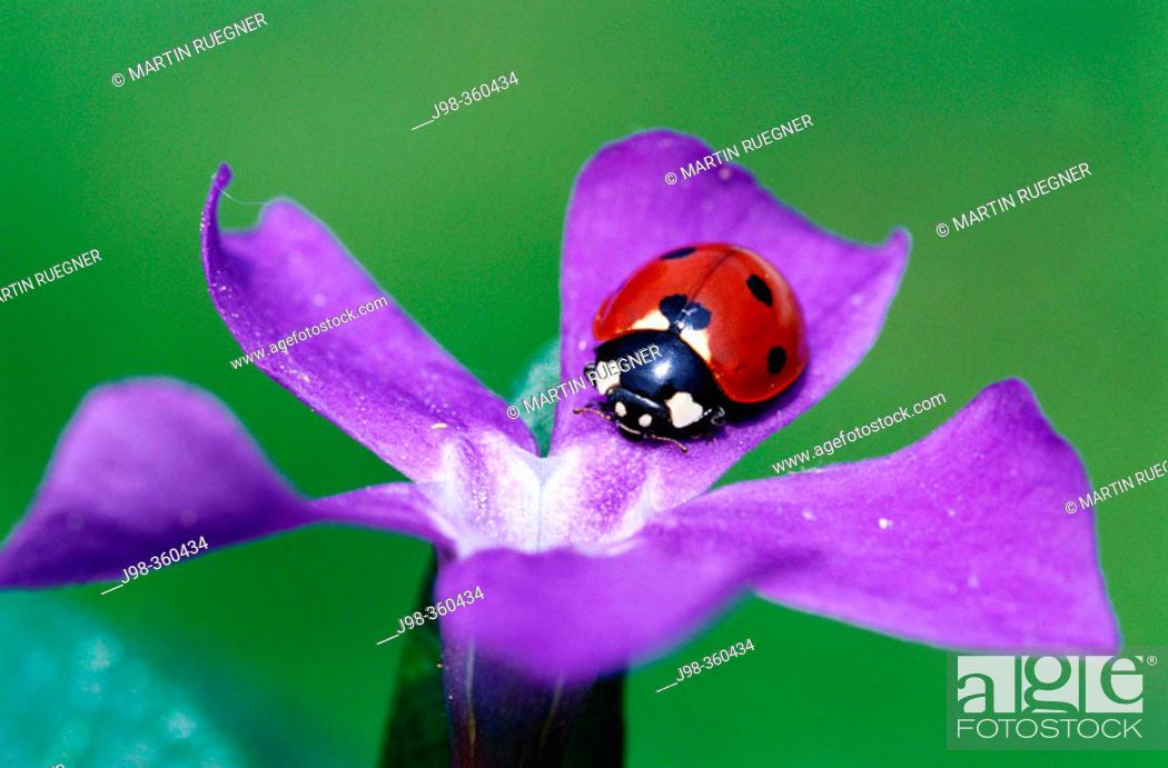 Stock Photo: Seven spot ladybird (Coccinella septempunctata). Bavaria. Germany.
