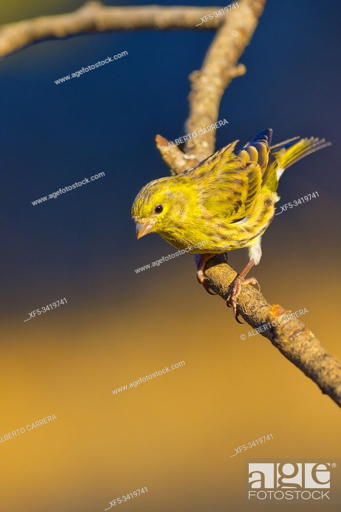 Stock Photo: Serin, Serinus serinus, Verdecillo, Castilla y León, Spain, Europe.
