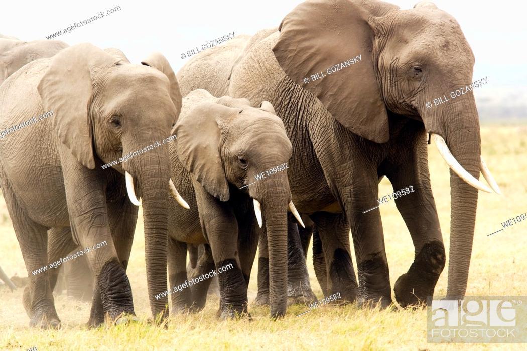 Stock Photo: Group of elephants walking on dusty plains - Amboseli National Park, Kenya.