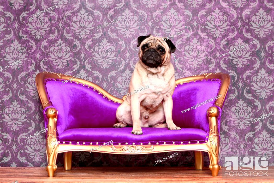 Stock Photo: sitting pug.