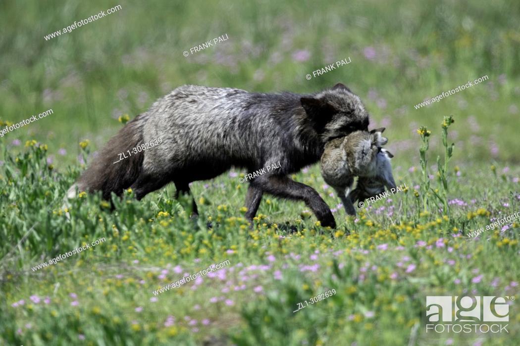 Stock Photo: The cross fox bringing rabbit for the family.San Juan Island, USA.