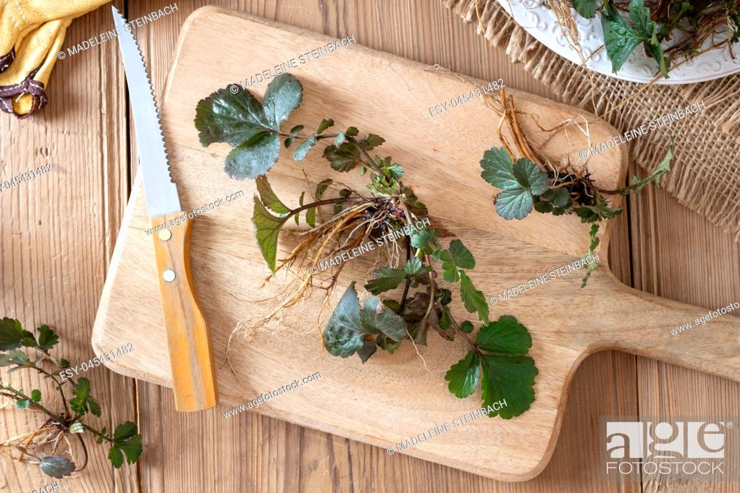 Stock Photo: Young Herb Bennet plants with roots picked in early spring, top view.