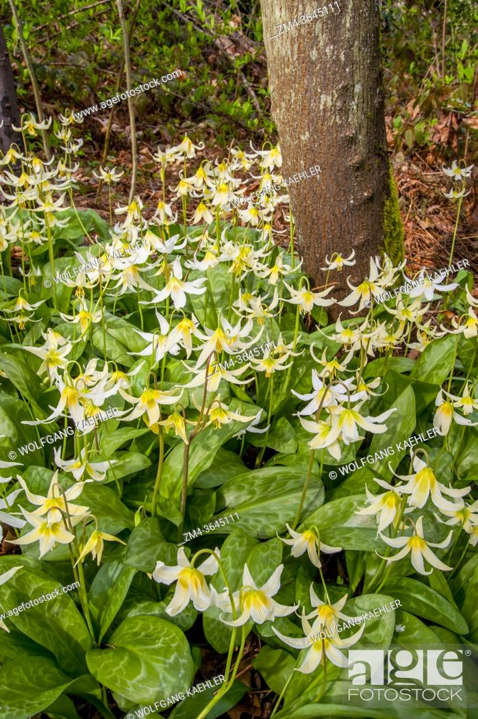 Photo de stock: Avalanche lily flowers in spring time in the Arboretum in Seattle, Washington State, USA.