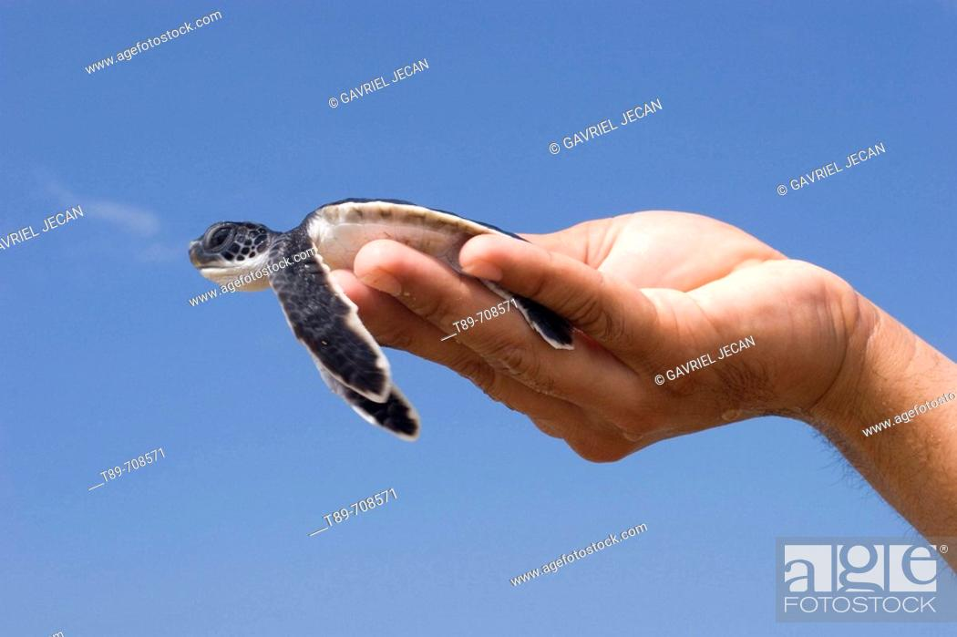 Stock Photo: Green Turtle (Chelonia mydas), baby hold by a researcher's hand.