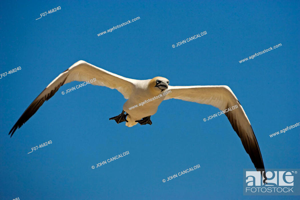 Stock Photo: Northern Gannet (Morus bassanus) - Canada - In flight - Large white seabird  with long black tipped wings and pointed tail - Six foot wingspan - High-diving  -.