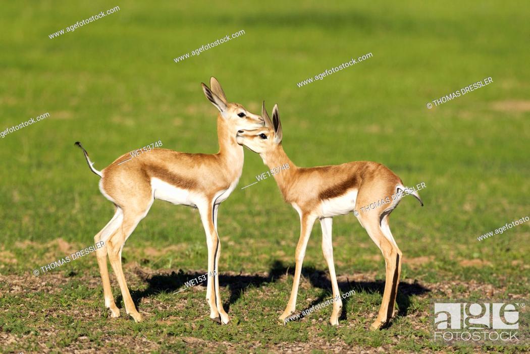 Stock Photo: Springbok (Antidorcas marsupialis). Social contact between two newly born lambs. During the rainy season in green surroundings.