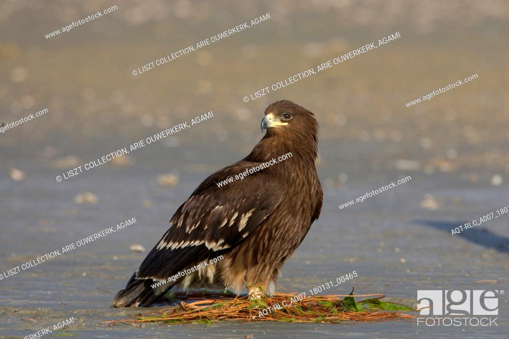 Stock Photo: Greater Spotted Eagle juvenile on the ground Iran, Greater Spotted Eagle, Clanga clanga.