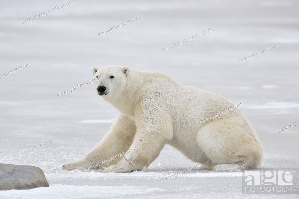 Imagen: Polar bear (Ursus maritimus) rising on ice, Churchill, Manitoba, Canada.