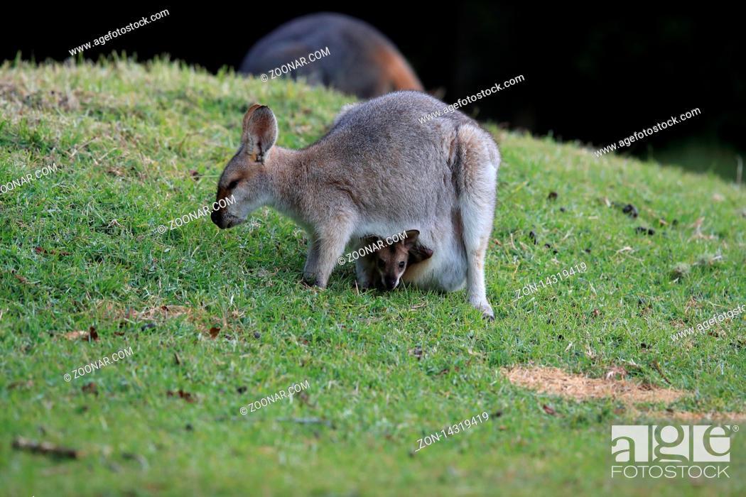 Photo de stock: red-necked wallaby or Bennett's wallaby (Macropus rufogriseus) Bunya Mountains, Queensland, Australia.