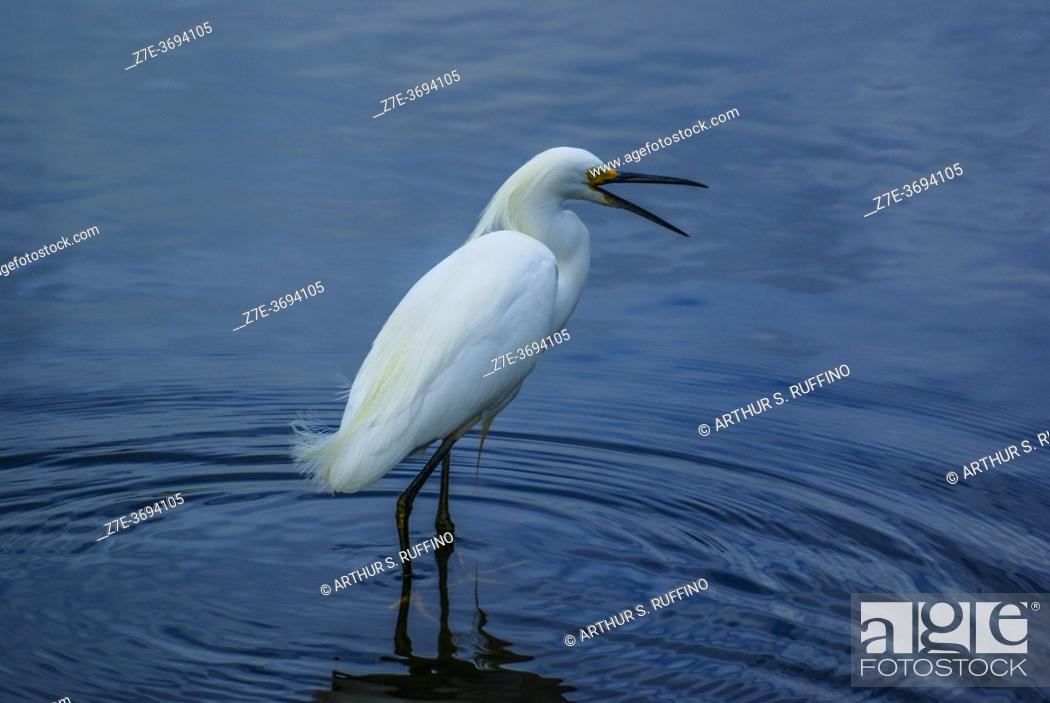 Stock Photo: Snowy egret (Egretta thula) calling out. South Florida, U.S.A., North America.