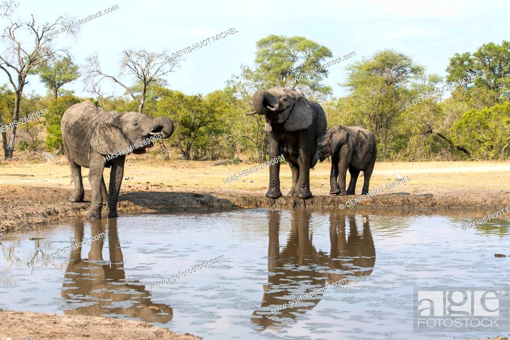 Stock Photo: South Africa, Sabi Sands game reserve, african elephant (Loxodonta africana), drinking at a waterpoint.