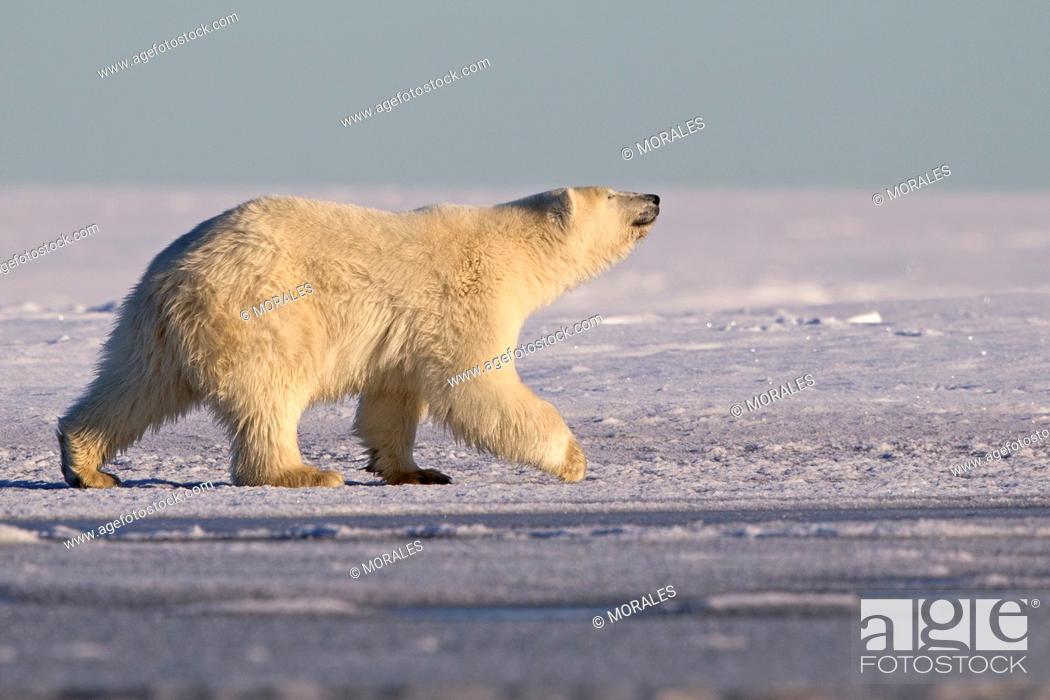 Stock Photo: United States , Alaska , Arctic National Wildlife Refuge , Kaktovik , Polar Bear( Ursus maritimus ) , 2 and 10 months years old cub along a barrier island.