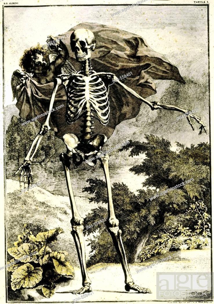 medicine, anatomy, skeleton, copper engraving by J. Wandelaar, Foto ...