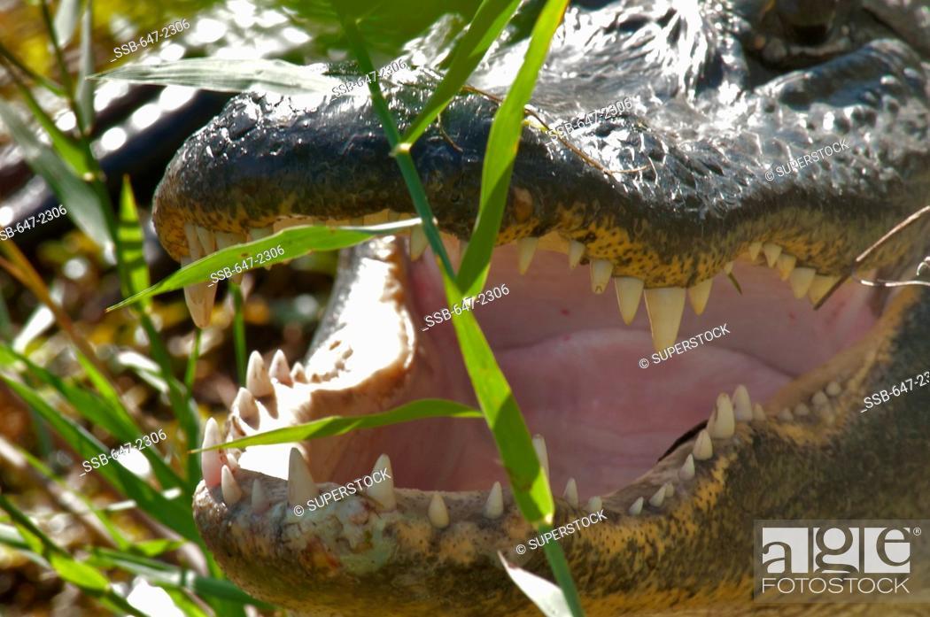 Stock Photo: USA, Florida, Everglades National Park, Alligator alligator mississippiensis.