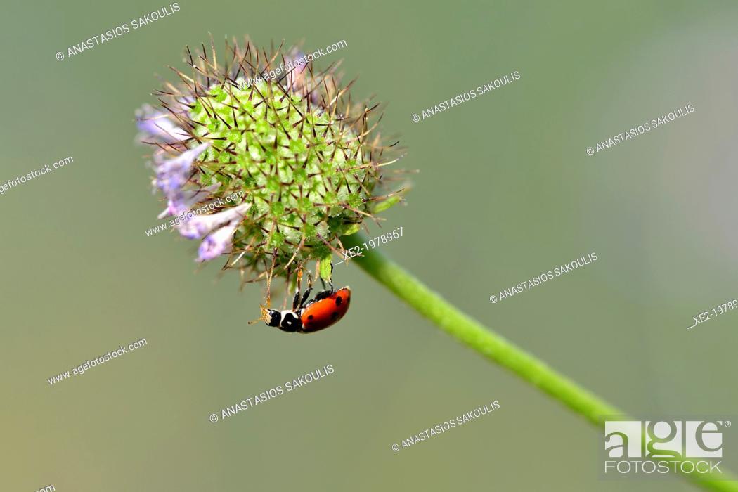 Stock Photo: Coccinella sp., Crete.