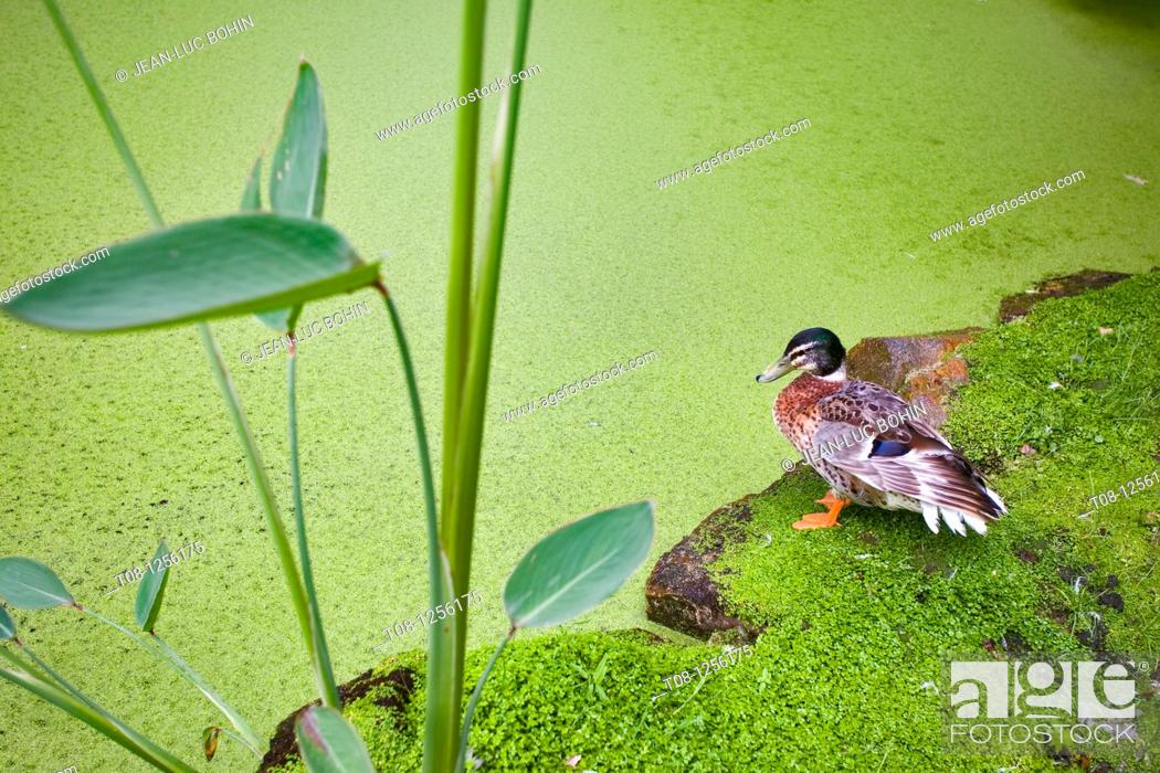 Stock Photo: France, 85: duck pond at the edge of the lens.