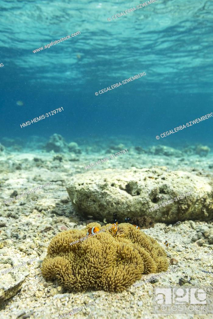 Stock Photo: Philippines, Palawan, Taytay Bay, Isla Blanca, anemone fishes (Amphiprion ocellaris) in shallow water.
