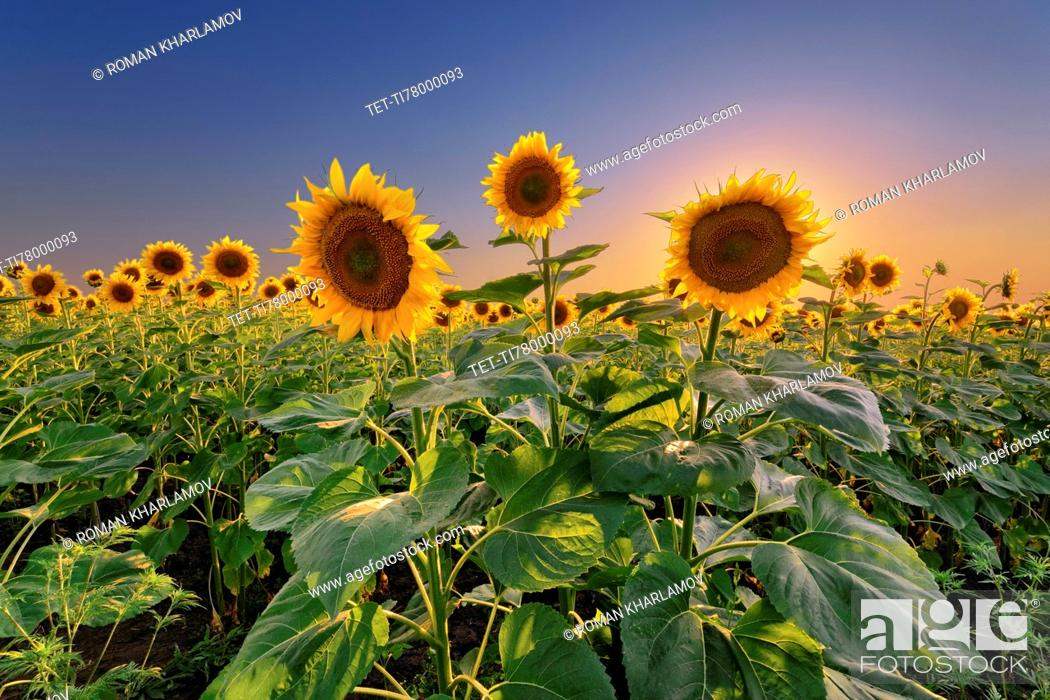 Stock Photo: Sunflower field at sunset.