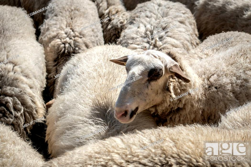 Stock Photo: Flock of sheep in Franconia.