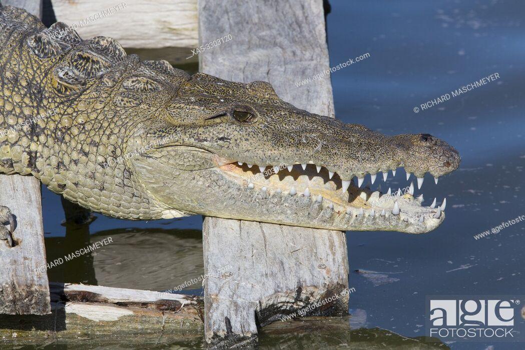 Stock Photo: Morelet Crocodile (Crocodylus Moreletii), Rio Lagartos Biosphere Reserve, Rio Lagartos, Yucatan, Mexico.