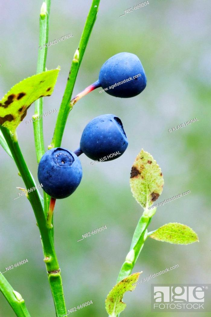 Stock Photo: Bilberry or Blueberry (Vaccinium myrtillus) in woodland. Bavaria, Germany.