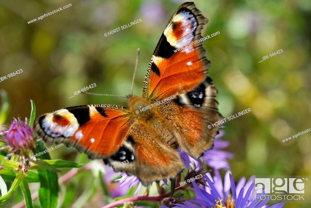 Stock Photo: Peacock Butterfly (Inachis Nymphalis io) on an aromatic aster (Aster oblongifolius).