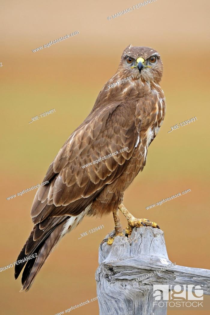 Stock Photo: Common Buzzard Buteo buteo, young, Daganzo, Madrid, Spain.