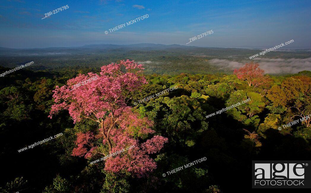 Stock Photo: Tree crowns flowers. French Guiana.