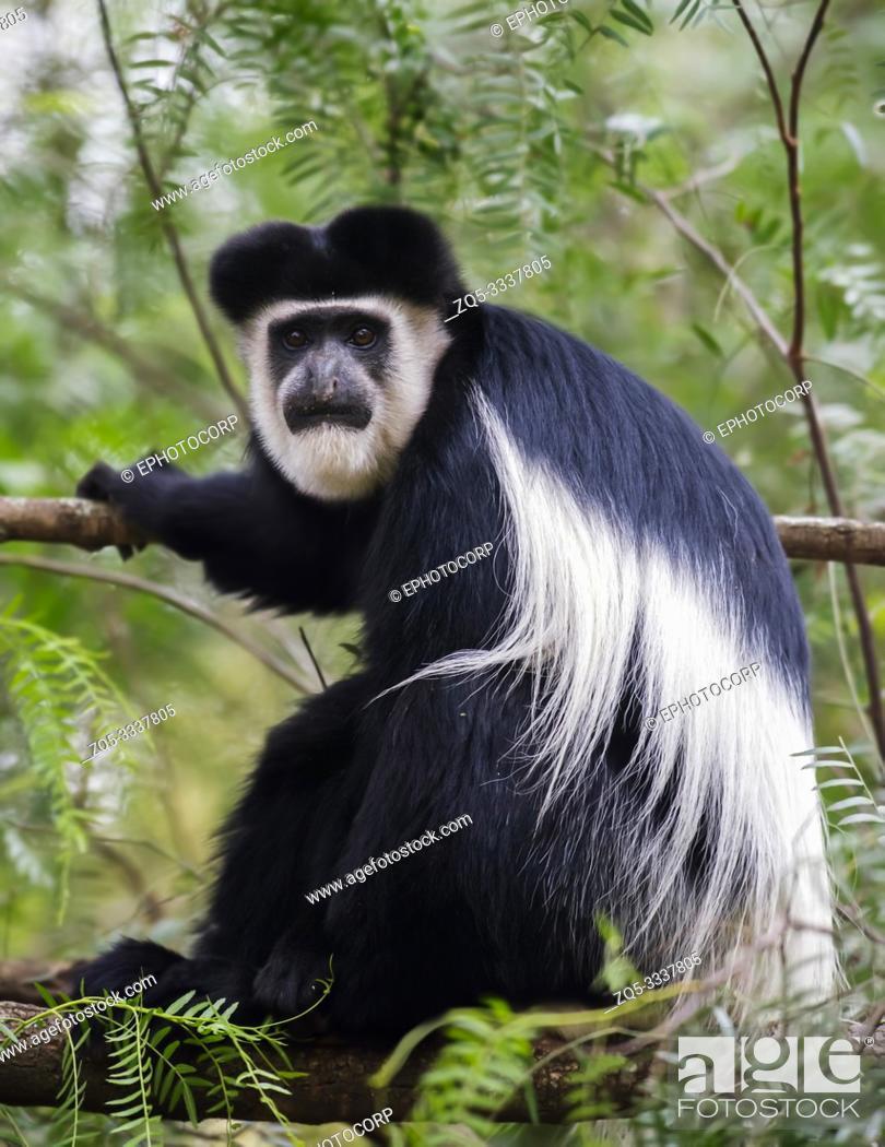 Stock Photo: Colobus monkey, Lake Naivasha, Africa.