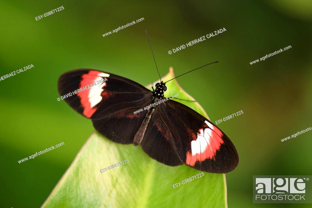Stock Photo: Butterfly (Heliconus Melpomene) on green leaf.