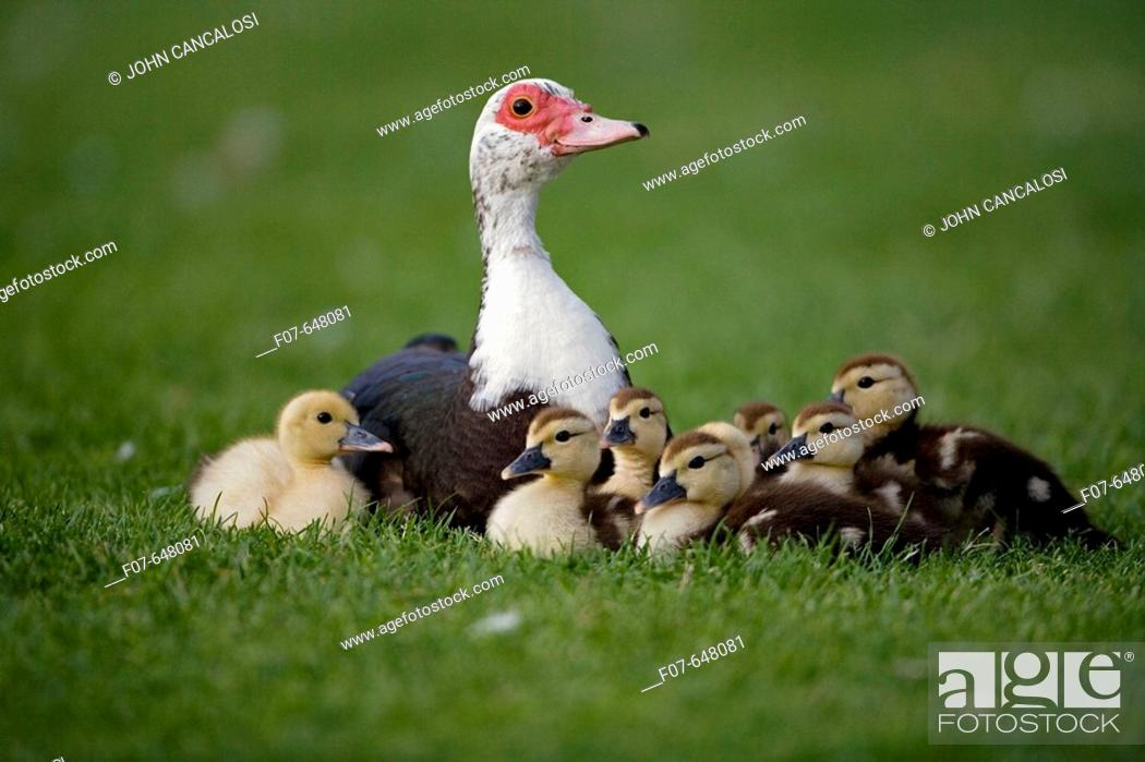 Stock Photo: Muscovy Duck with Young (Cairina moschata) - England - UK - Originated in South America.