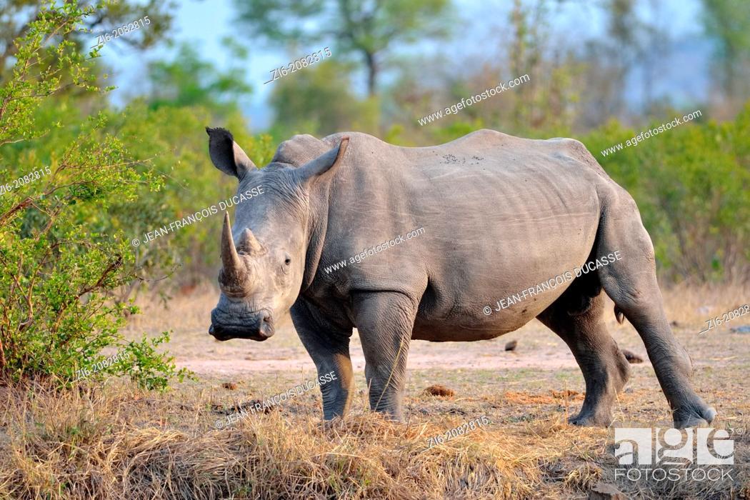 Stock Photo: White rhinoceros, Ceratotherium simum, Kruger National Park, South Africa.