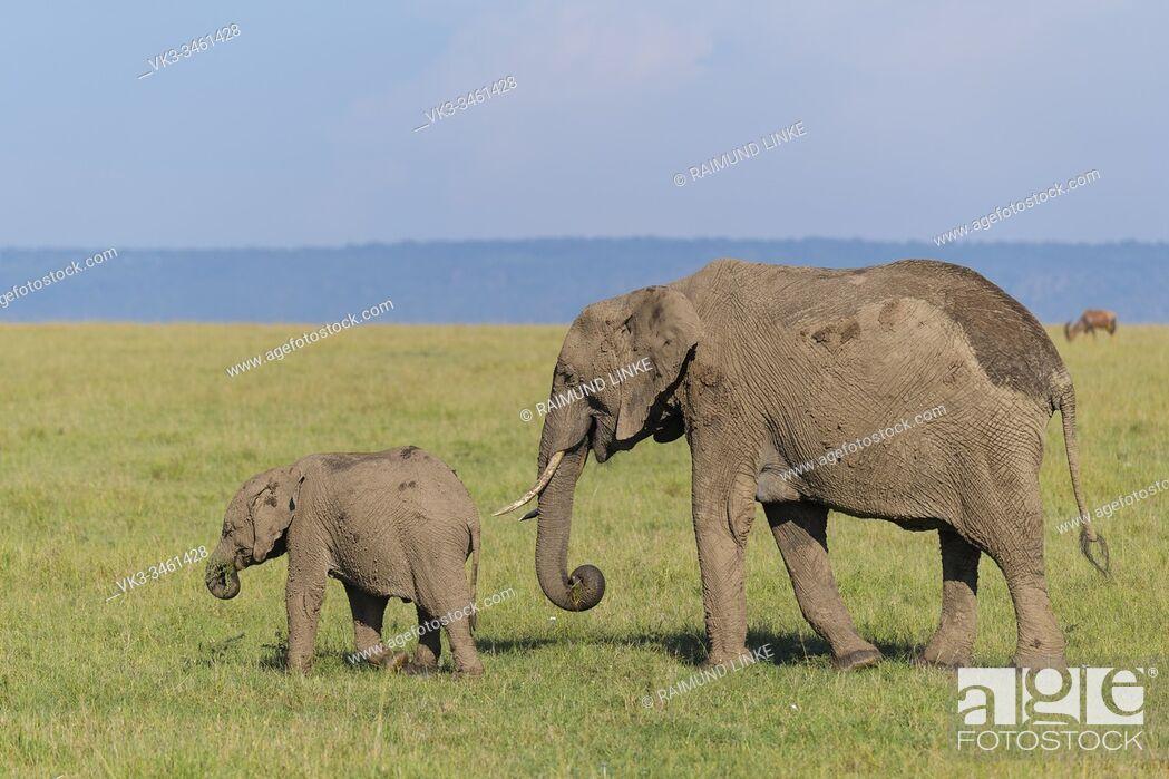 Stock Photo: African elephant, Loxodonta africana, adult with young, Masai Mara National Reserve, Kenya, Africa.