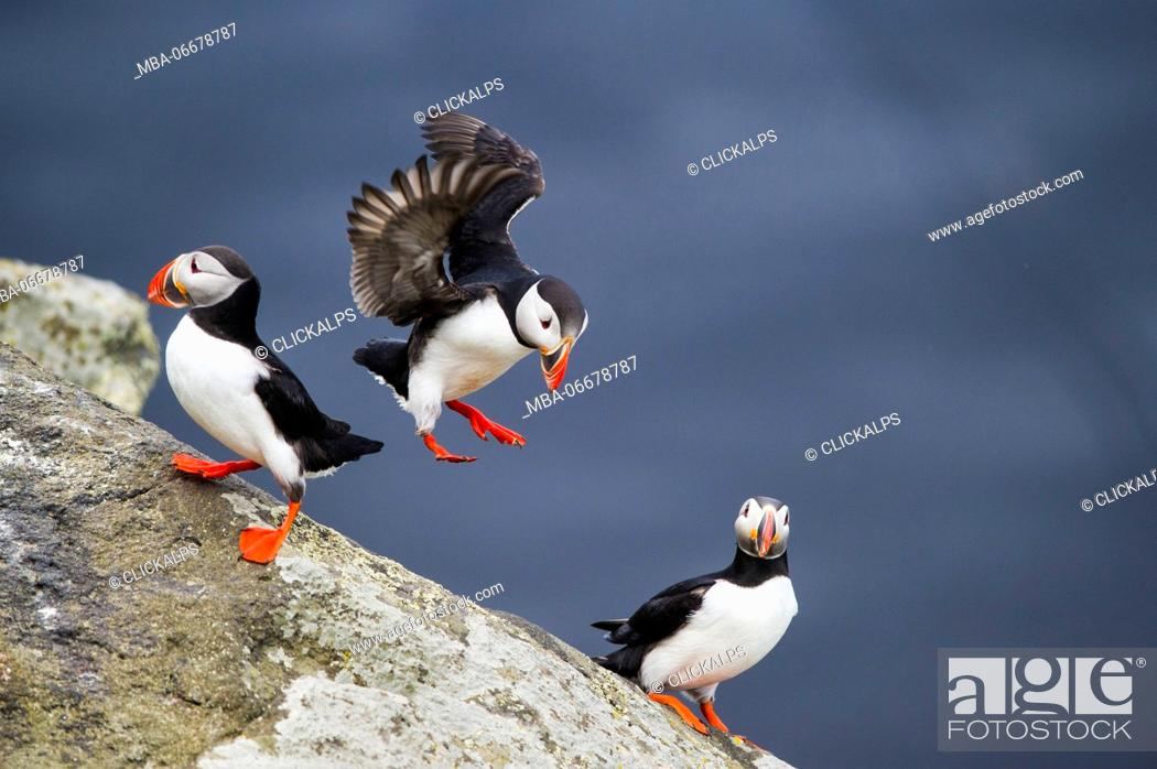 Photo de stock: Ingolfshofdi, southern Iceland. Atlantic puffins.