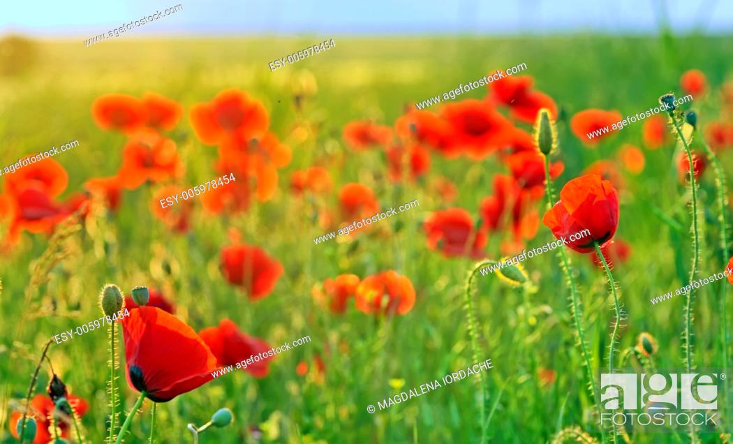 Stock Photo: a poppy field close-up in summer day.