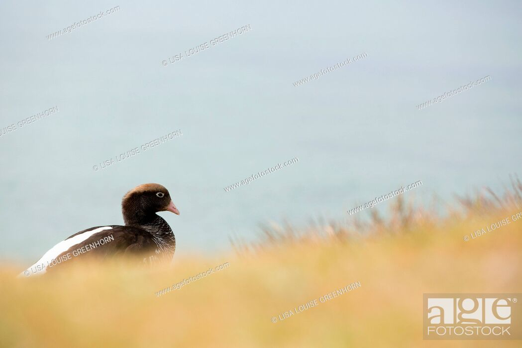 Imagen: Kelp Goose (Chloephaga hybrida) resting near breeding colony, Falkland Islands.