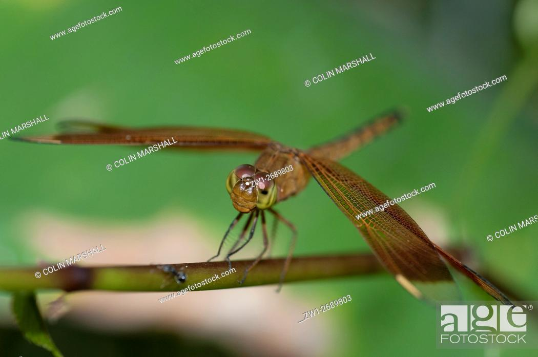 Stock Photo: Indonesian Red-winged Dragonfly (Neurothemis terminata), Klungkung, Bali, Indonesia.