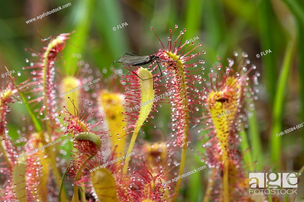 Imagen: Great Sundew Drosera anglica glandular hairs on leaves, with fly caught in sticky mucilage, Norfolk, England, june.