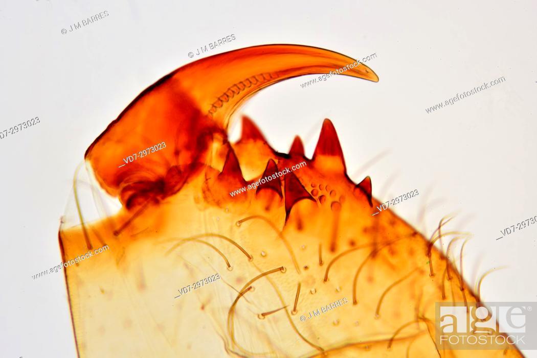 Imagen: Garden spider (Araneus) chelicerae detail. Optical microscope X100.