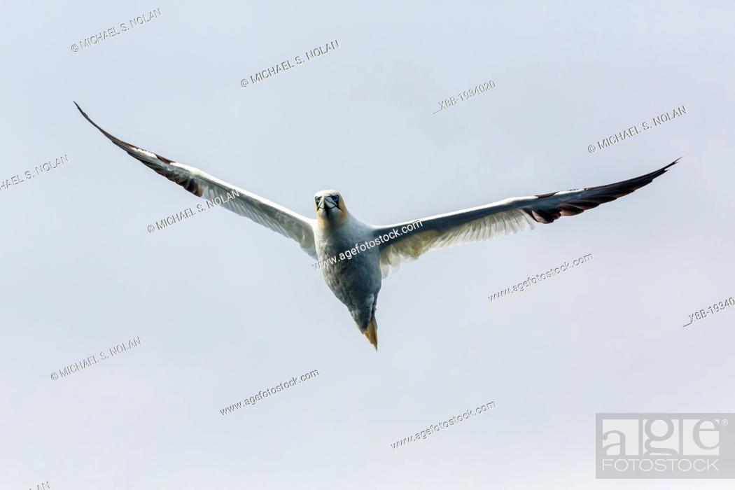Stock Photo: Adult northern gannet (Morus bassanas) on the wing at Runde Island, Norway.