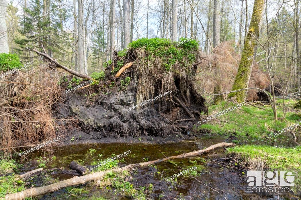 Stock Photo: Springtime alder bog forest with standing water and storm broken spruce tree, Bialowieza Forest, Poland, Europe.