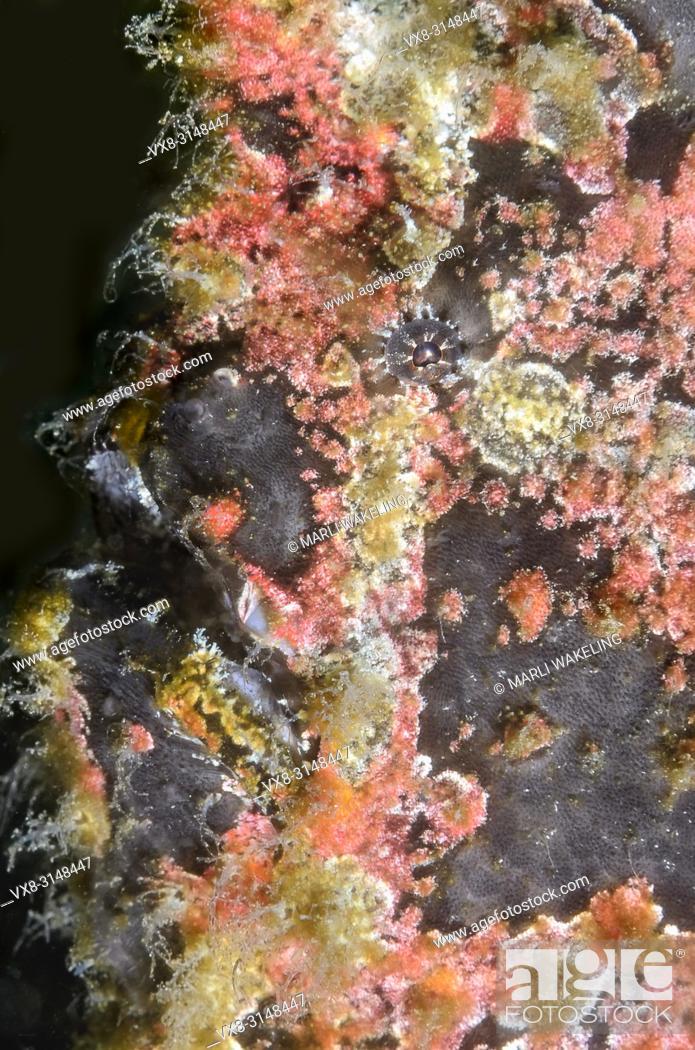 Stock Photo: Giant frogfish, Antennarius commerson, Puerto Galera, Oriental Mindoro, Philippines, Pacific.