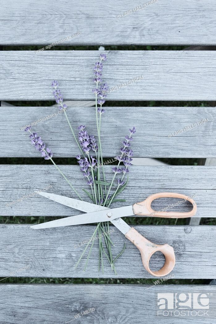 Stock Photo: Lavender flowers and scissors on garden table. Still life with top view.