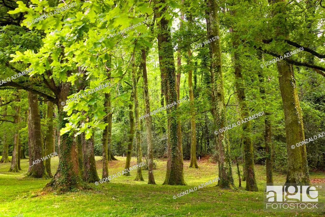 Stock Photo: Pedunculate Oak Quercus robur, Royal Golf Club of San Sebastian, Hondarribia, Guipuzcoa, Basque Country, Spain.