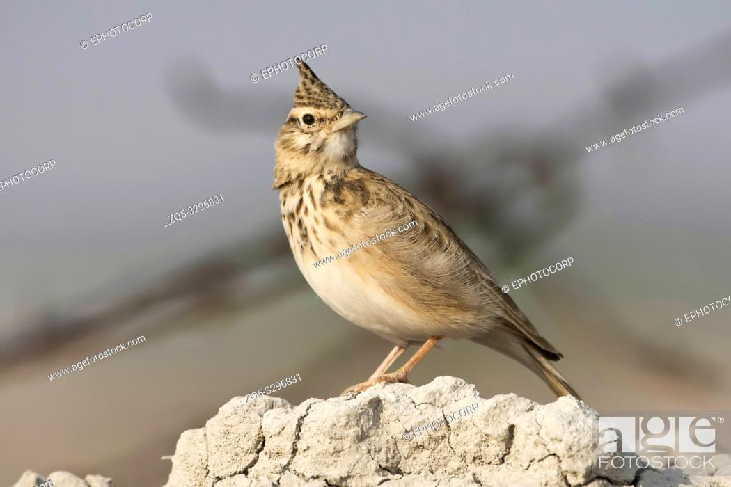 Stock Photo: Crested lark, Galerida cristata, Tal Chhapar Sanctuary, Rajasthan, India.