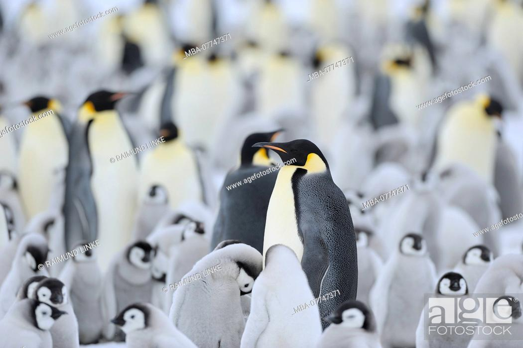 Stock Photo: Emperor penguins, Aptenodytes forsteri, Penguin Colony with Adults and Chicks, Snow Hill Island, Antartic Peninsula, Antarctica.
