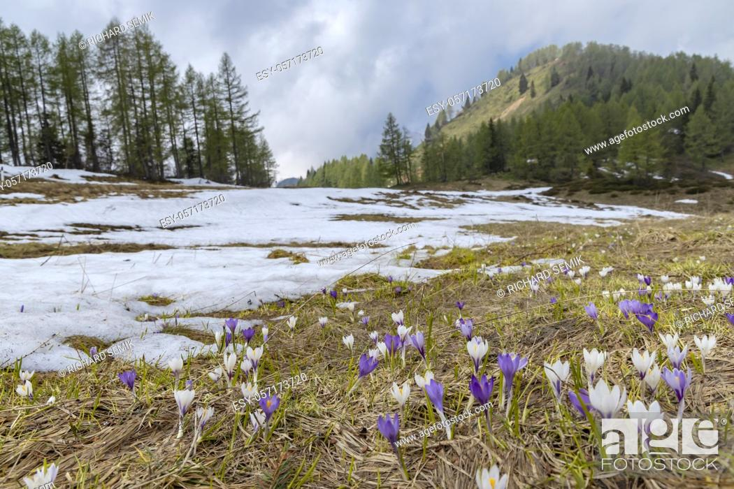 Stock Photo: early spring blooming meadow with crocus in Sella di Rioda, Alps, Italy.