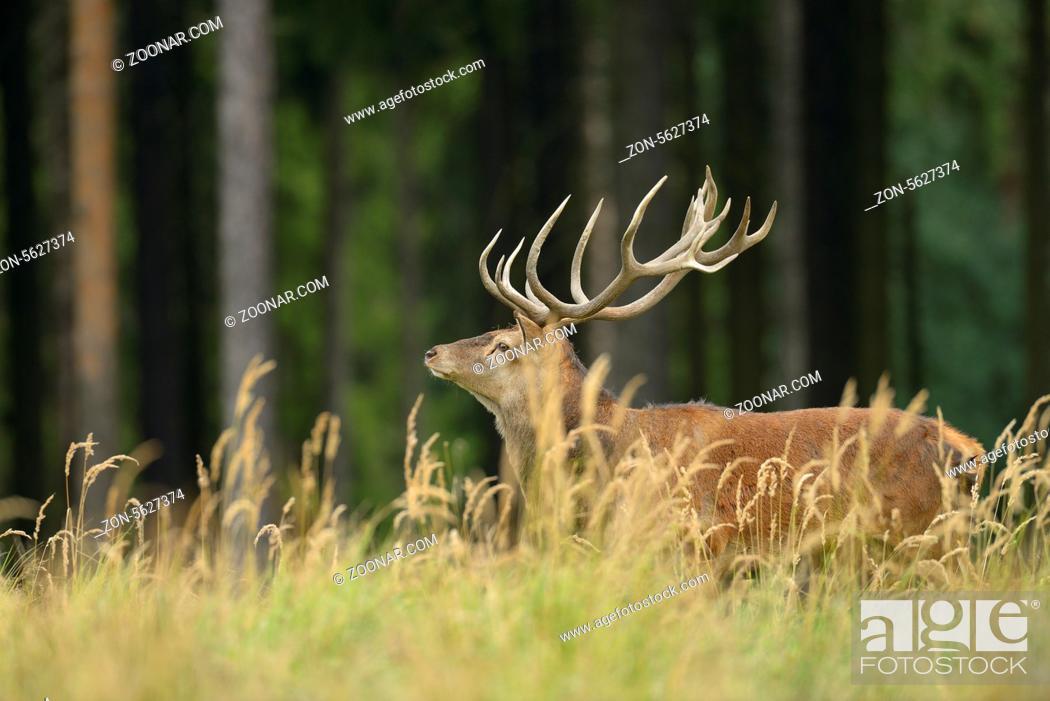 Stock Photo: Rothirsch, Cervus elaphus, Deutschland, Red deer, Germany,.