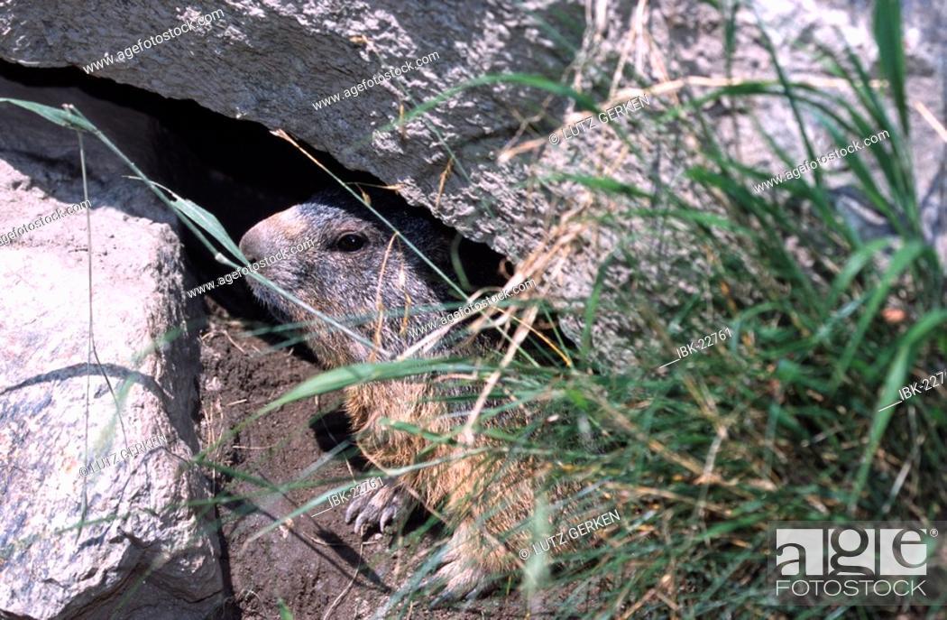 Stock Photo: Marmots.
